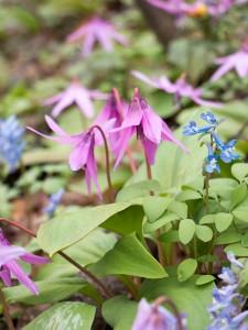 突哨山(とっしょうざん)の花びらが閉じかけのカタクリ