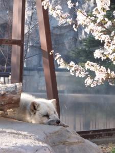 旭山動物園の春のキタキツネと桜