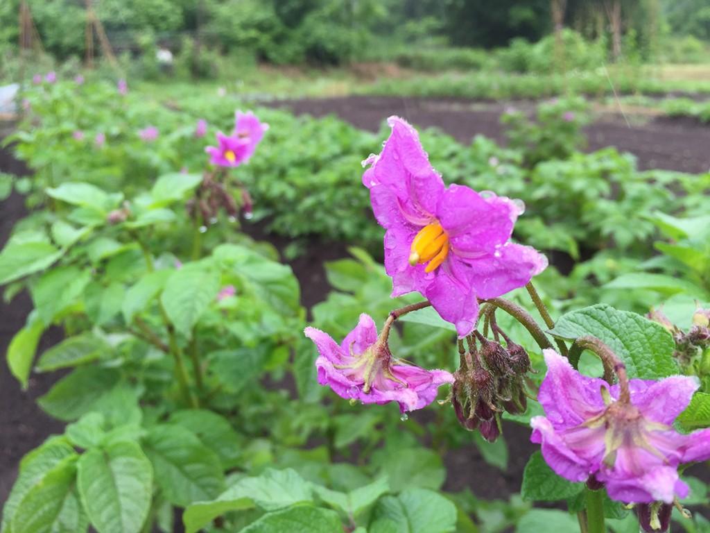 花を咲かせたジャガイモ