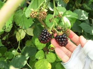 ブラックベリー(黒実木苺)のレシピ