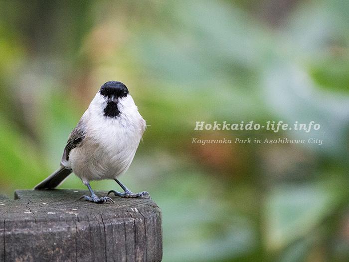 旭川市内の公園の野鳥