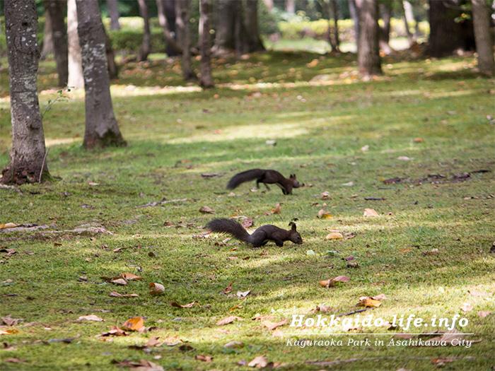 旭川市内の公園のエゾリス