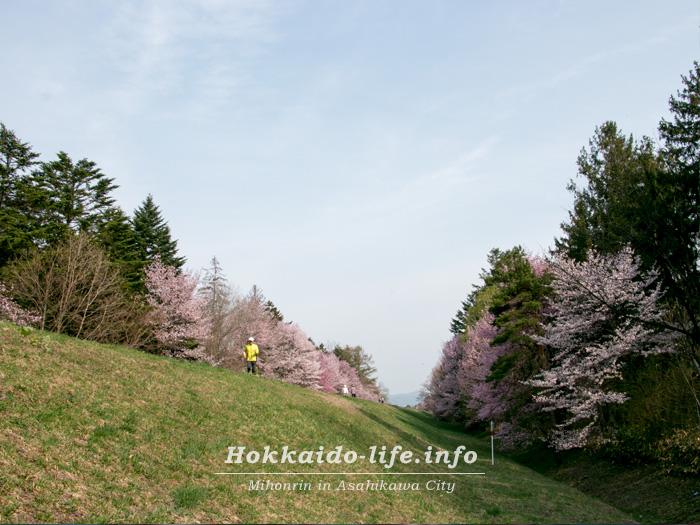 外国樹種見本林の桜