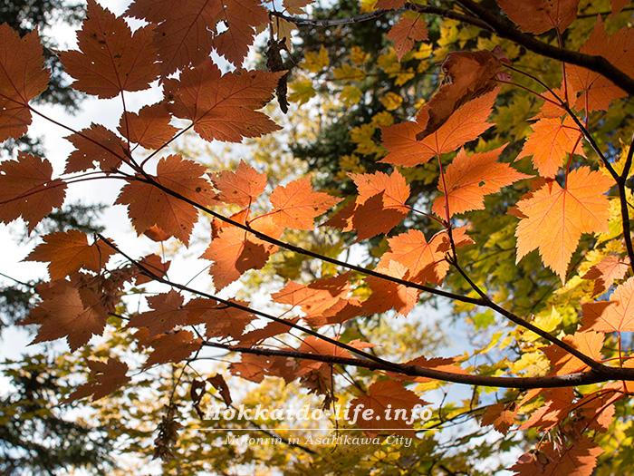 大雪高原温泉の紅葉