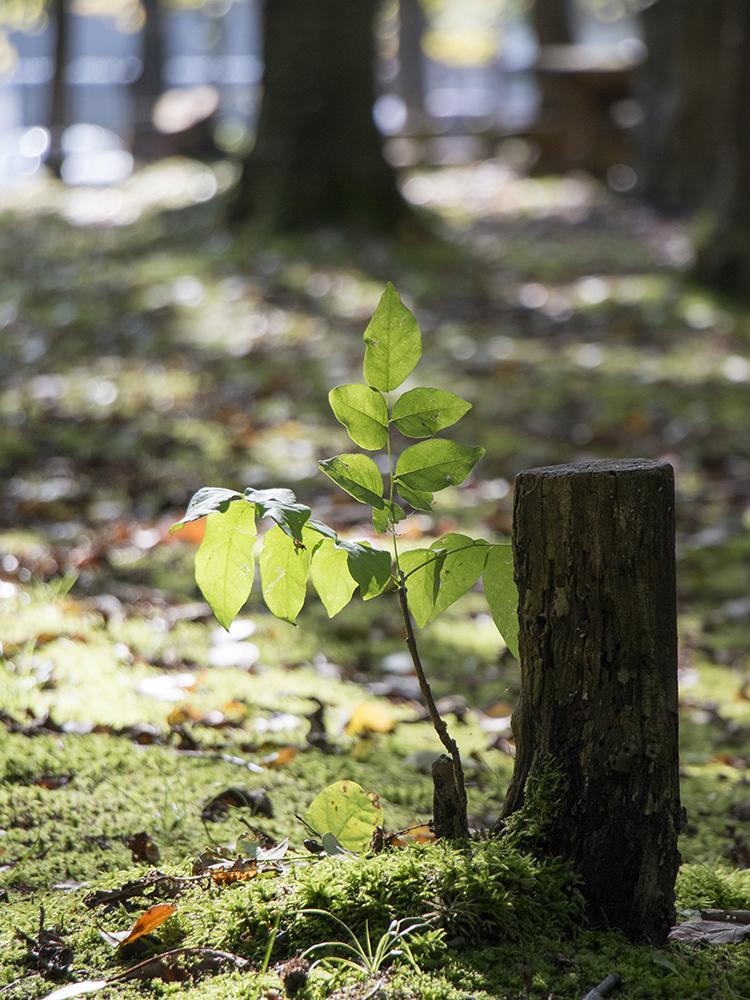 公園の幼い木