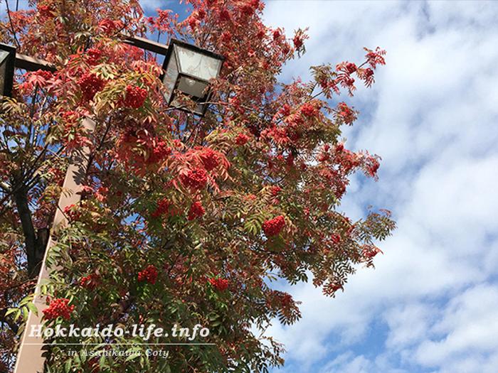 秋のナナカマド(2015年10月16日撮影)