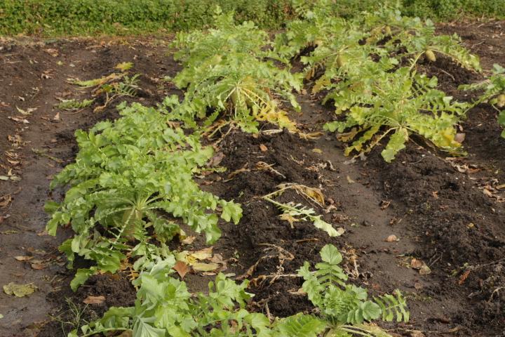 収穫前の秋大根(先植え)