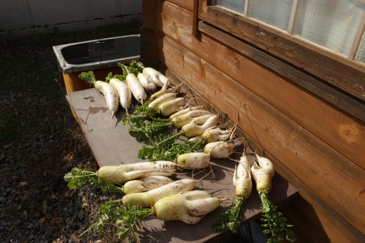 収穫し、洗って干している秋大根