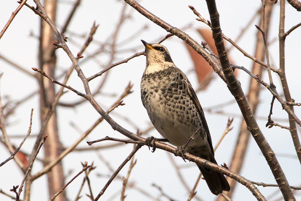 野鳥のツグミ(北海道旭川市で撮影)