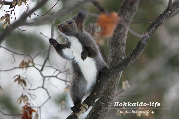 枝の上で二本立ちするエゾリス