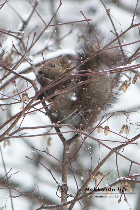 エゾリス(hokkaido_squirrel)