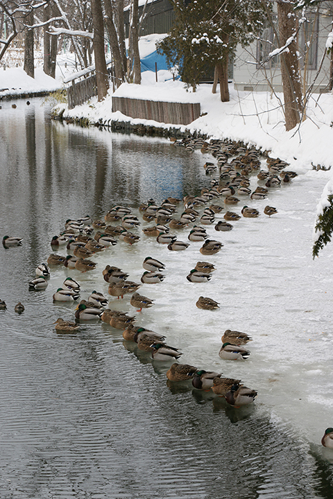 冬の常磐公園の鴨