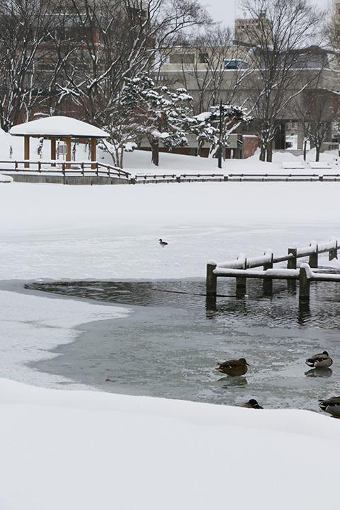 常磐公園の千鳥ヶ池の氷に立つ鴨