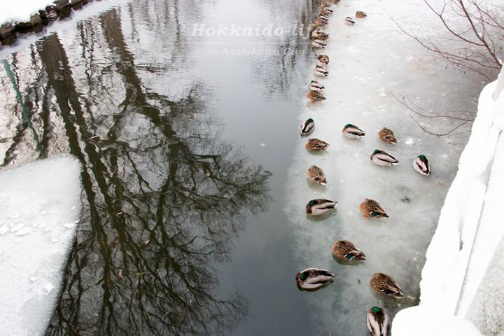 冬の常磐公園の鴨と木のリフレクション
