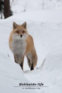 Timid Hokkaido Red Fox~気弱なキタキツネ~