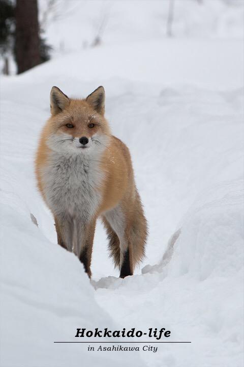キタキツネHokkaido red fox