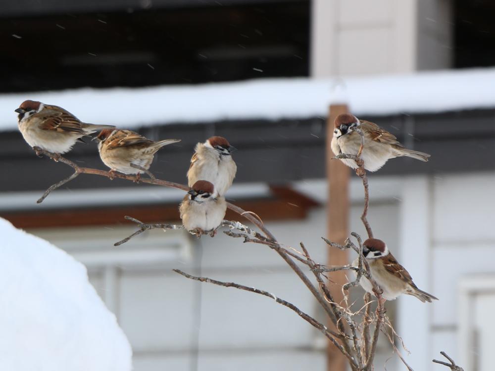 スズメ(北海道旭川市2015年1月28日撮影)