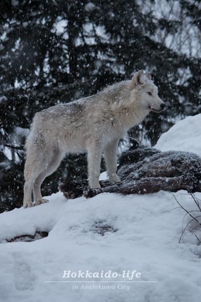 旭山動物園の「雪あかりの動物園」のシンリンオオカミ