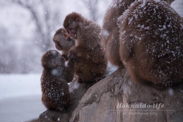 旭山動物園「雪あかりの動物園」のニホンザル