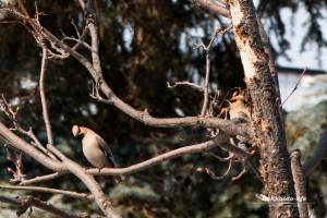 旭川市民の鳥「キレンジャク」