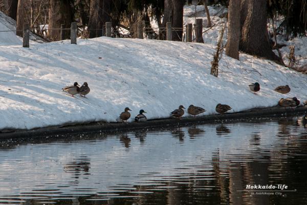 常磐公園の千鳥ヶ池のペアのカモたち