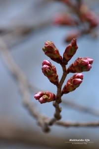 桜の開花まであと少し