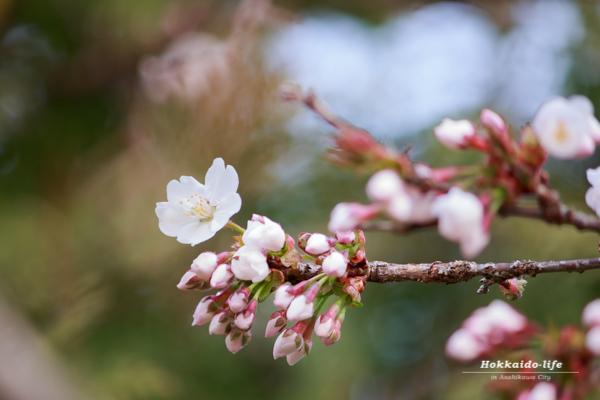 2016年の開花直後の桜