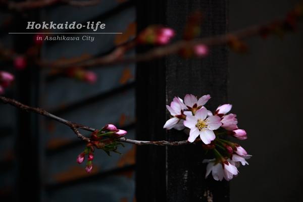 2016年の旭川市内の桜