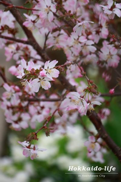 2016年の旭川の桜、白い花を背景に