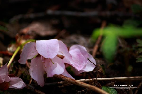 地面に散った桜