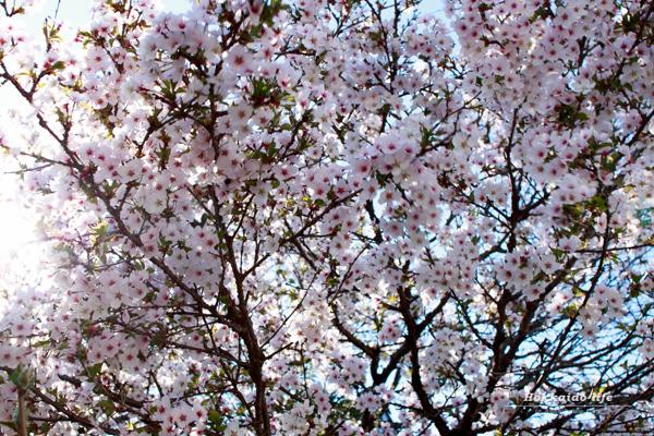 おばあちゃんの千島桜