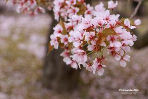 護国神社の桜~満開の後で~