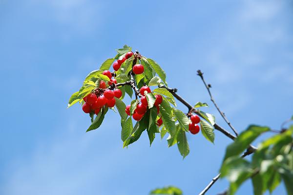 サクランボの木の実
