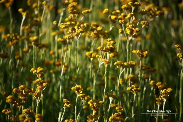 Unknown yellow flowers~名前も知らない黄色い花~