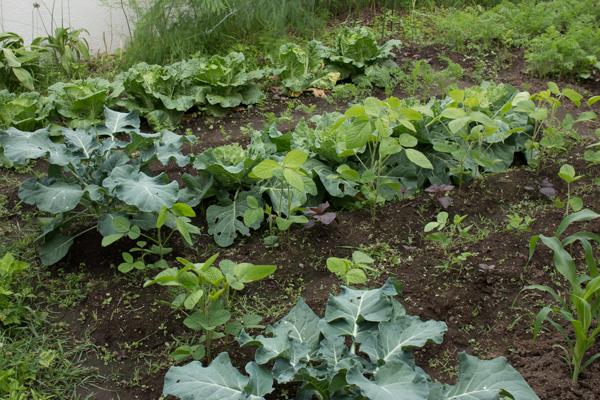 家庭菜園Tの様子