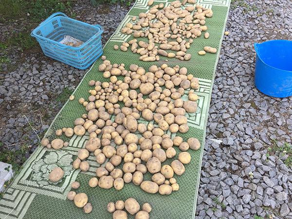 収穫したジャガイモ(2016年8月13日)