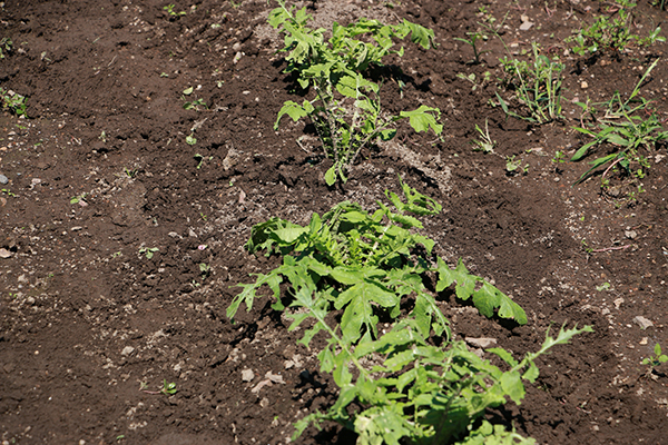 菜亀の被害をうけた大根葉