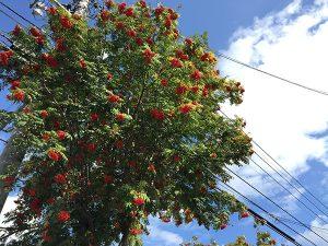 旭川の木「ナナカマド」の実が赤く熟しはじめています。