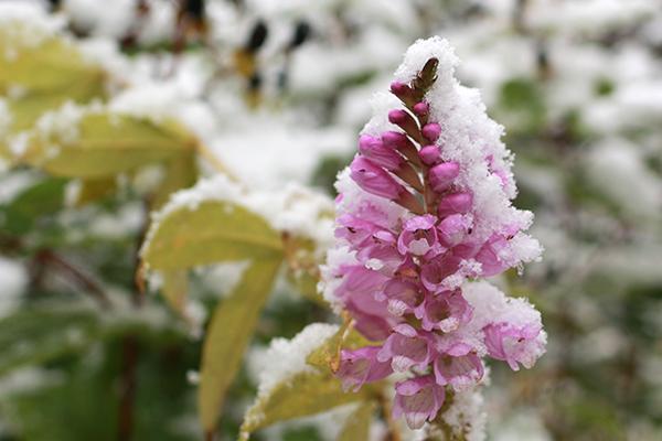 10月下旬の降雪をかぶった庭の花