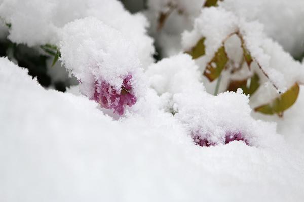 10月下旬の降雪に埋まる庭の花
