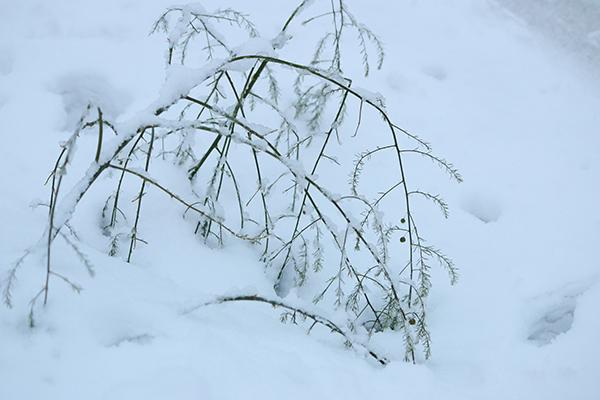 重たく湿った雪でしなったアスパラの枝葉