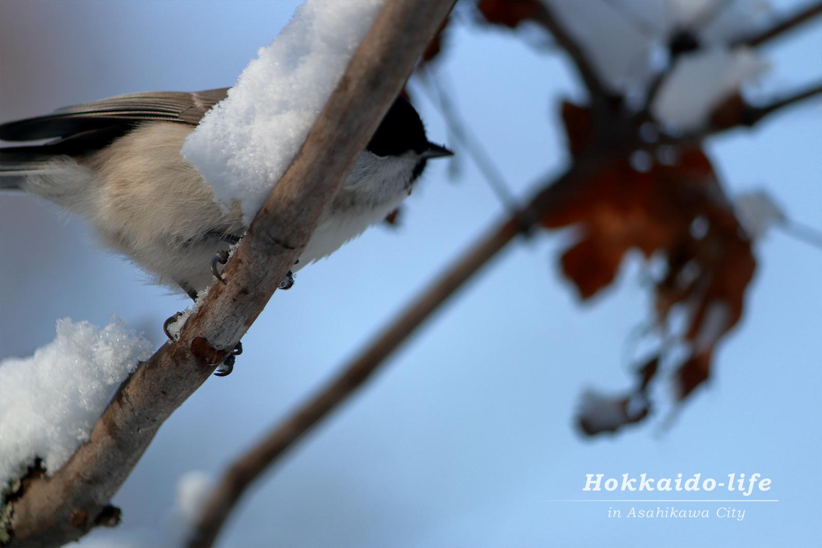 【尻ーズ Vol.24】頭上の枝のヒガラ