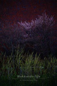 silent cherry blossom~静かなサクラ~