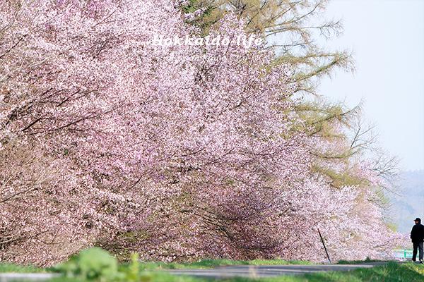 2017年GWの旭川の桜