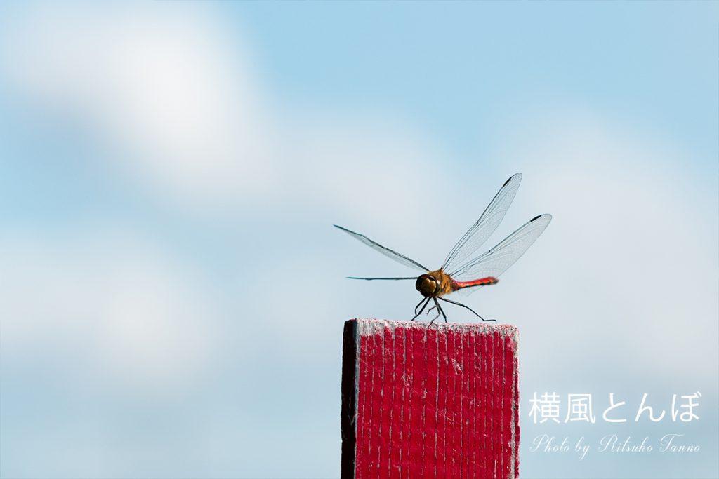 写真「横風とんぼ」