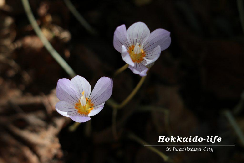 親知らず子知らず(イヌサフラン)の花