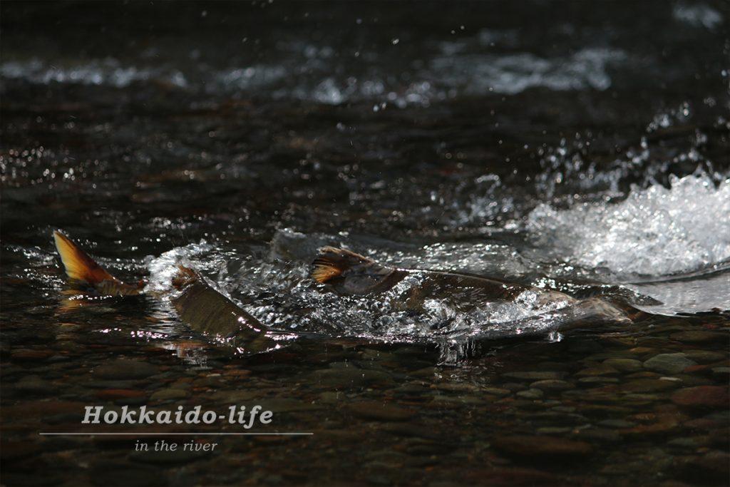 川に遡上してきた鮭
