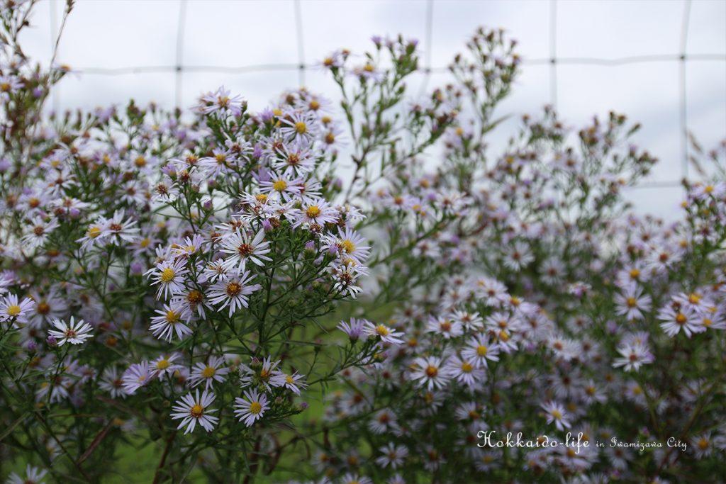 シオン(紫苑、Aster tataricus) キク科シオン属の多年草