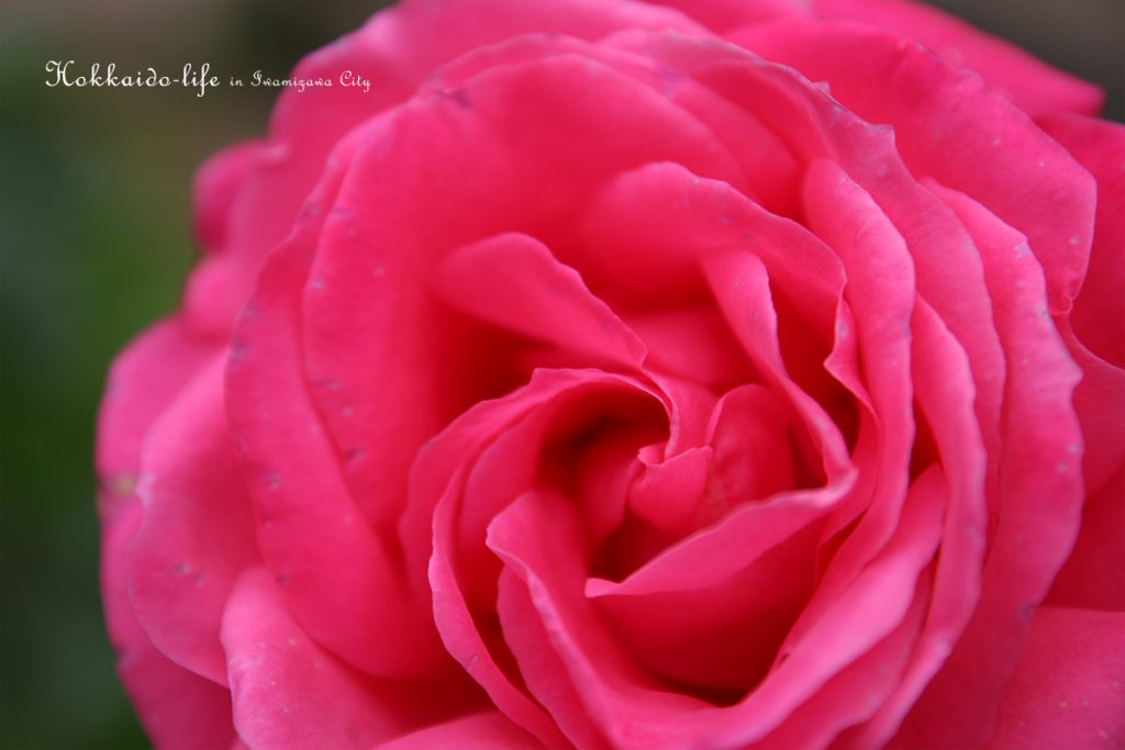 岩見沢市内の秋のバラ