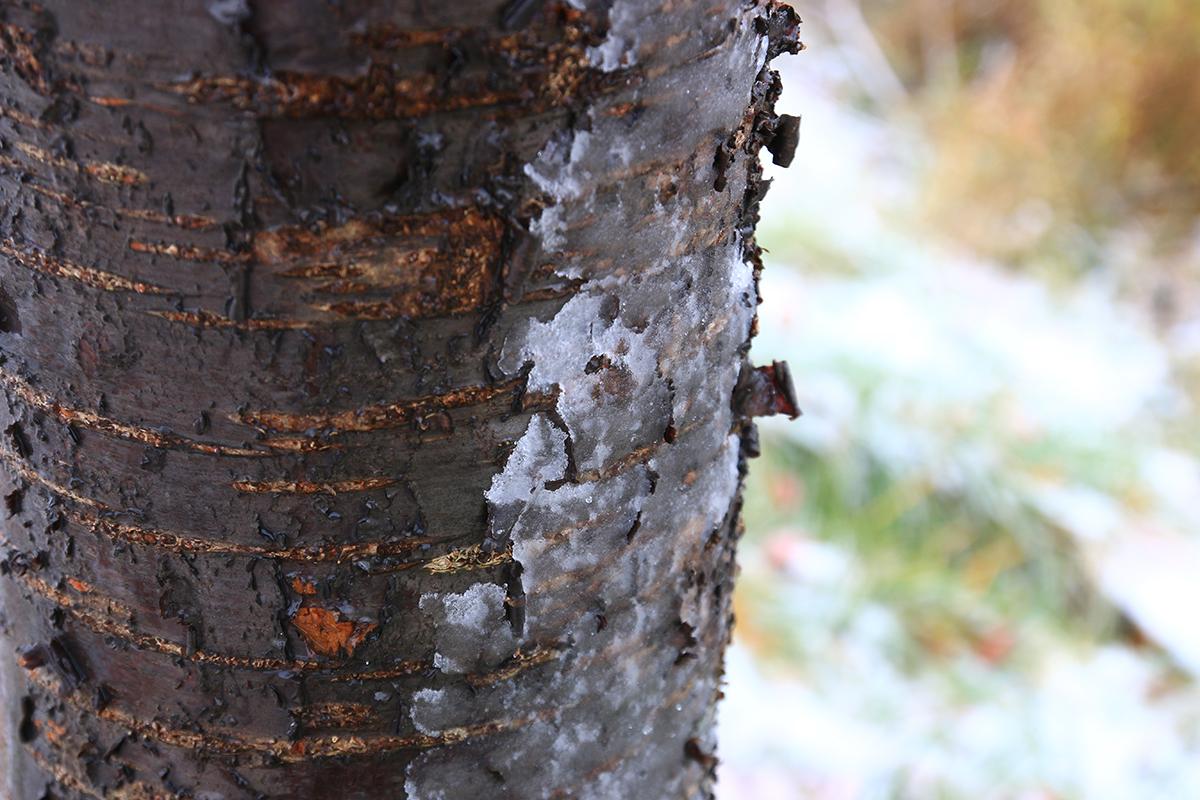 みぞれ雪が張りついた桜の幹